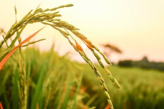 колос риса